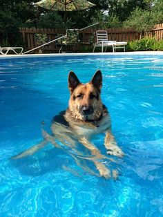 GSD....just chillin'❗️