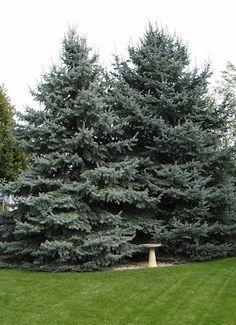 colorado spruce trees | Colorado Spruce