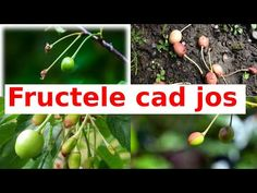 De ce fructele de cireșe nu se dezvoltă si cad jos? - YouTube Garden Trees, Youtube, Agriculture, Plant