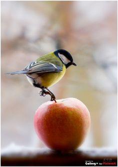little bird on apple