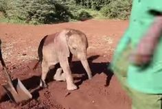 Ndotto the Rescued Baby Elephant Enjoys a Lovely Dust Bath! (VIDEO) | When little Ndotto first arrived at David Shelrick Wildlife Trust's (DSWT) Orphan Nursery, he was not in great shape. The little elephant had been rescued from the Ndotto mountains where he was found, all alone, by a local tribesman. DSWT specializes in the care of orphaned elephants and knew exactly how to care for the dehydrated, frightened calf upon arrival. Please watch and share! (10/5)
