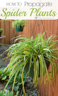 Spider plants are one of the easiest houseplants to propagate and if you follow a few simple steps, you will soon have several spider plants in your home.