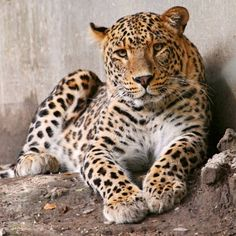 another gorgeous leopard