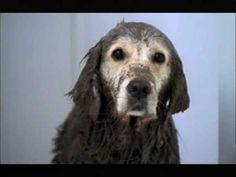 'Muddy Dog' Pedigree  Must watch OMG LOL ! Not my video - therefore I can laugh.