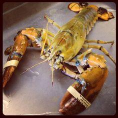 Albino Lobster by captainmardens, via Flickr