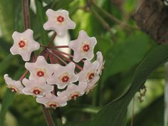 Wax Flower: Hoya Carnosa