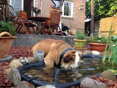 """❤ """"Where is my bone ?"""" ~ Dunking for bones or whatever else might be in the pond ! ❤ Posted on Baggy Bulldog"""