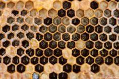 Miel de rododrendo. Intoxicación con miel. Fotografía: Vipin Baliga (CC)