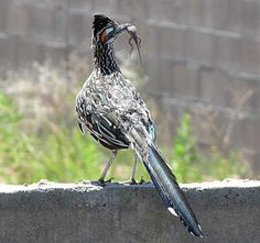 Birds of Phoenix - Gallery 3: Greater Roadrunner