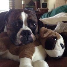 Boxer puppies!!!