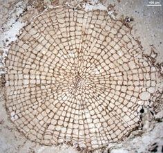 World Oldest Wood (original image from Science/AAAS) ... For information, please see http://www.newscientist.com/blogs/shortsharpscience/2011/08/worlds-oldest-wood-found.html