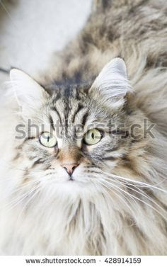 new @shutterstock #kittens #pets #animals #cute #gatti #whelp #little #feline #puppies #siberian #meow #cubs #cats - brown cat of siberian breed in the garden - stock photo