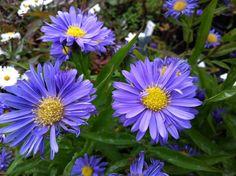 Prachtige trouwe zomer- en nieuwe najaarsbloeiers welke opvallen in de najaarstuin, Hibiscus syriacus, Rosa `Schneewittchen`,herfstanemonen, siergrassen,