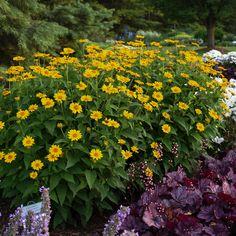 Sun Garden, Love Garden, Garden Plants, Yellow Perennials, Sun Perennials, Yellow Plants, Yellow Flowers, Perennial Sunflower, Beautiful Flowers Garden
