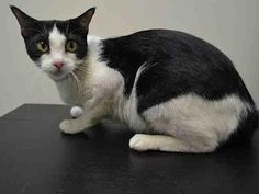 Pulled by Feline Rescue of Staten Island* LITTLE BIT - A1034485 - - Brooklyn  ***TO BE DESTROYED 05/11/15*** BEGINNER-RATED BLACK AND WHITE CHARMER, DUMPED DUE TO LANDLORD, IS PLAYFUL, AFFECTIONATE, AND GENTLE, BUT WILL DIE JUST BECAUSE SHE SNEEZED – PLEASE GRANT LITTLE BIT A DEATH ROW PARDON!!! Adorable black and white beauty LITTLE BIT, just 3 years old- I came in the shelter as a OWNER SUR on 04/27/2015 from NY 11221, owner surrender reason stated was LLORDPRIVA.