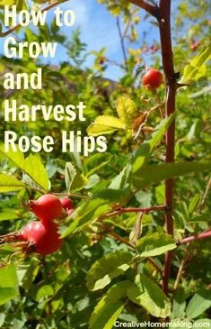 Information on growing and harvesting rose hips, and how to make rose hip jelly.