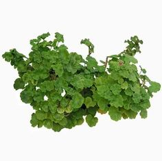 cutout plants: pelargonium plant
