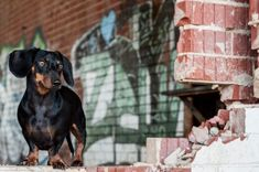 Is Your Dachshund Driving You Crazy? Make Massive Change To Your Dachshund´s Behaviour in Just 1 Day! Brown Dachshund, Dachshund Dog, Dog Cat, Dachshunds, Corgi Breeds, Dandie Dinmont Terrier, Most Popular Dog Breeds, Weenie Dogs, Pembroke Welsh Corgi