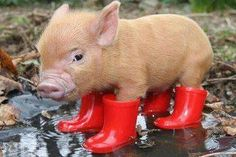 Aww I really need to get a pig!!