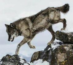 💘💘 Beautiful Wolf 💘💘