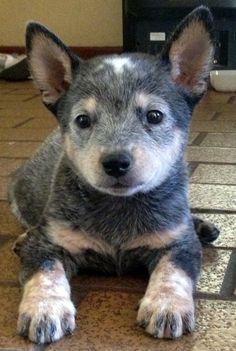 Australian cattle dog #blueheeler