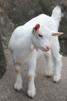 Stock Pack Example: Goat by Oniendra on DeviantArt