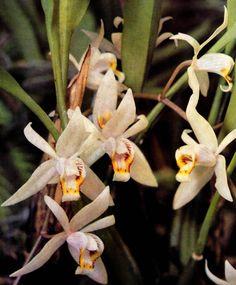 Orchideen Coelogyne flaccida – Blumen Orchideen