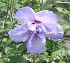HIBISCUS syr. BLUE CHIFFON ® 'Notwoodthree' cov Hibiscus, Chiffon, Rose, Flowers, Plants, Silk Fabric, Pink, Roses, Florals
