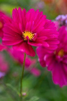 Cosmos are resilient flowers Cottage Garden Plants, House Plants Decor, Cottage Gardens, Hydrangea Quercifolia, Rose Varieties, Invasive Plants, Colorful Garden, Heat Waves, Houseplants