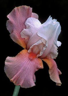 ❈ Fleurs Foncées ❈ dark art photography flowers botanical prints - iris