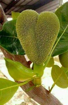 Exotic Fruit, Exotic Plants, Tropical Fruits, Dont Break My Heart, I Love Heart, Heart In Nature, Heart Art, Funny Fruit, Strange Fruit