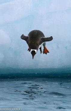Gentoo Penguin dive - by Jenny Varley Cute Baby Animals, Animals And Pets, Funny Animals, Wild Animals, All Gods Creatures, Sea Creatures, Beautiful Birds, Animals Beautiful, Gentoo Penguin