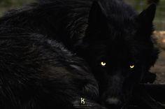 black wolf with blue eyes - Pesquisa Google