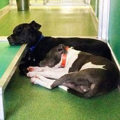 Homeless pups become close friends at animal control facility. Palm Beach County Animal Care and Control Facility in West Palm Beach FL. Inseparable.
