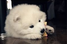 i wish my dog still looked like this. shes still cute. miniature american eskimo <3