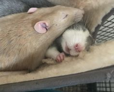 Two of my boys Otto and Chino. Sleeping so hard he made a fist. #aww #cute #rat #cuterats #ratsofpinterest #cuddle #fluffy #animals #pets #bestfriend #ittssofluffy #boopthesnoot