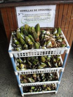 Orchid seeds for sale in Moyobamba, Peru