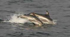 Lagenorhynchus acutus - Atlantic White-sided Dolphin Whales, Dolphins, Mammals, Fish, Nature, Naturaleza, Pisces, Whale, Common Dolphin
