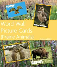 Word wall picture cards of prairie animals with writing center ideas. 2 sizes of labeled photos. #teachering