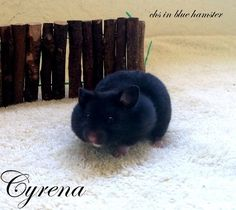 Cyrena chs in blue hamster Blue, Animals, Animales, Animaux, Animal, Animais