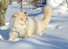 Flame colourpoint self bicolour Pretty Cats, Beautiful Cats, Animals Beautiful, Pics Of Cute Cats, Cool Cats, Fox Dog, Dog Cat, Kittens Cutest, Cats And Kittens
