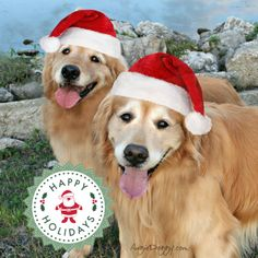 Merry Christmas 2013 from golden retrievers Augie and Ti!