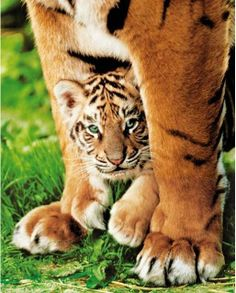 How hell feels like home 9ab5cf2a095d97e0fc87571920472d77--baby-tigers-tiger-cubs