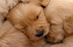 Golden retriever puppies! Goodness, the cuteness!