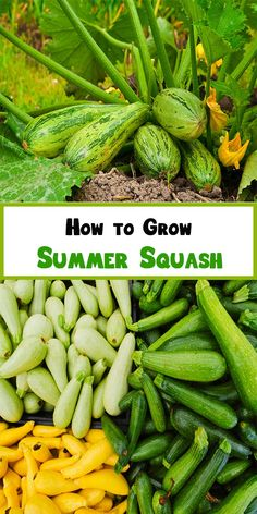 How to Grow Summer Squash 1