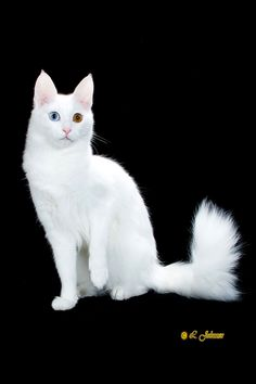 Turkish Angora- This reminds me of my cat Crystal only her eyes were a lighter blue and gold.  She was also deaf which is a trait in white blue eyed and odd eyed cats.