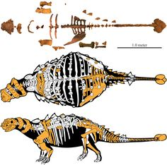 Akainacephalus fossils and a skeletal reconstruction. Jurassic World Dinosaurs, Jurassic Park World, Cool Dinosaurs, Prehistoric World, Prehistoric Creatures, Dinosaur Skeleton, Dinosaur Art, Creature Drawings, Animal Drawings