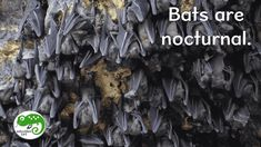 Free introductory video on bats. Grades Students learn about bat behavior, habitat, adaptations and different kinds of bats. Join my TPT store! All About Bats, Nocturnal Animals, View Video, Student Learning, Mammals, Habitats, Behavior, Students, Join