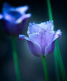 tumblr_m8igttbXRf1r6lnaco1_500.jpg ::: Blue fringe tulips gorgeous. Lorr