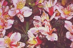 Alstroemeria Flowers in Bloom Close-up Full Frame Pretty Alstroemeria Flowers in Bloom for Floral Immersion. They are also known by Peruvian Lily or Lily of the Incas. Abstract Stock Photo Peruvian Lilies, Photo Composition, Abstract Images, Blooming Flowers, Photo Illustration, Image Now, Royalty Free Images, Close Up, Backgrounds